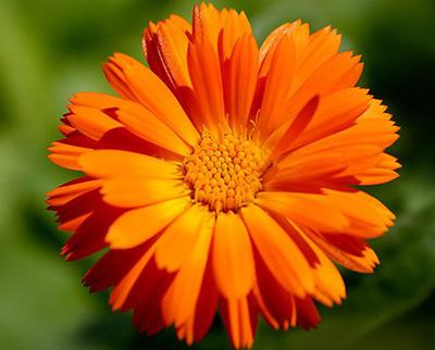 Календула является популярным средством при заболеваниях кожных покровов